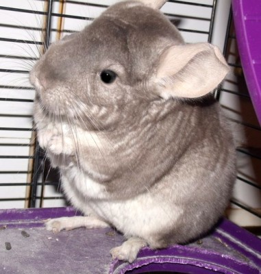 Morgan-Chinchilla