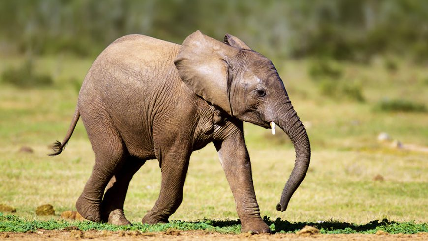 Elephant Update