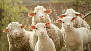 Animal Communication: Sheep Herding Made Easy