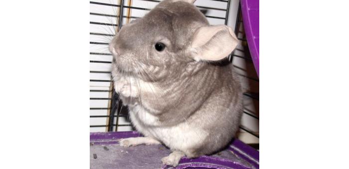 Morgan: The Grumpy Chinchilla